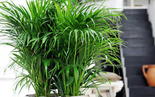 Хризалидокарпус: уход в домашних условиях за пальмой