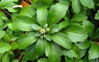 Пахизандра – фото, посадка и уход, описание растения, размножение