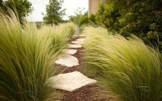 Ковыль: выращивание из семян, разновидности, применение в ландшафтном дизайне, фото