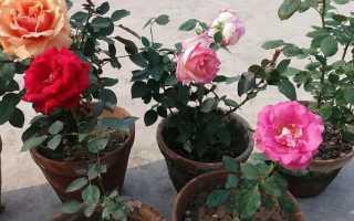 Почему не цветет комнатная роза: причины, как заставить розу цвести