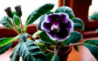 Цветок глоксиния: уход в домашних условиях, фото, выращивание из семян, размножение, зимой