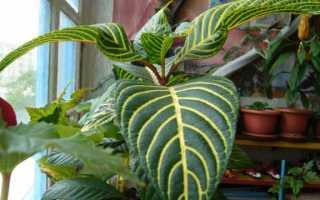 Санхеция – уход за растением и его особенности