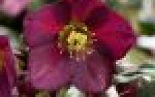 Цветок морозник: посадка и уход в открытом грунте, фото, выращивание и размножение