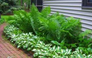 Какие существуют папоротники: виды и названия, особенности растений, где растут