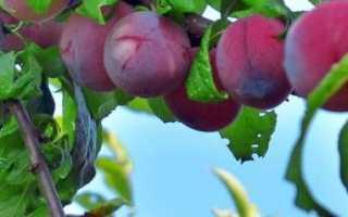 Как ухаживать за сливой осенью, преимущества осенней