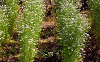 Выращивание кинзы из семян (18 фото): как вырастить кинзу в открытом грунте, посадка и уход, почему семена кинзы называются кориандром