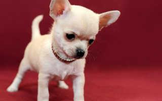 Чихуахуа – 92 фото самой маленькой, карликовой породы собак
