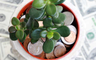 Как вырастить денежное дерево: уход за растением, размножение и цветение толстянки в домашних условиях