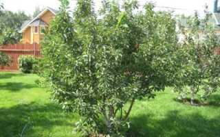 Рекомендации по выращиванию вишни Чернокорка