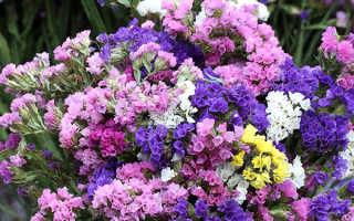 Статица (100+ фото): выращивание и уход, посадка дома, кормление