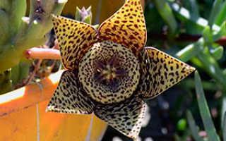 Цветок стапелия: уход в домашних условиях, фото, размножение, виды: пестрая, грандифлора и гигантская