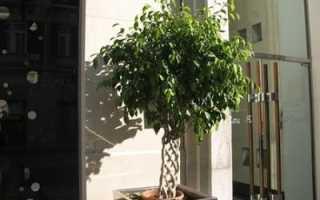 Фикус Бенджамина Наташа: уход в домашних условиях и размножение (фото растения)