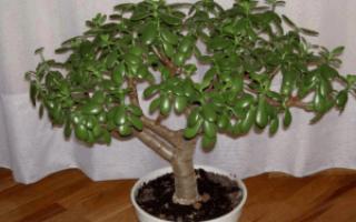 Как пересаживать денежное дерево в домашних условиях – когда правильно пересадить в другой горшок