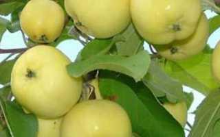 Яблони поздних сортов– описание сорта с фото, отзывы, посадка и уход