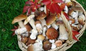 Как вырастить белые грибы на даче или садовом участке в домашних условиях