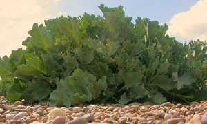 Растение хрен катран: фото и его выращивание из семян и черенков на приусадебном участке, виды