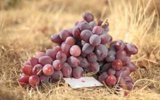 Описание сорта винограда «Атаман Павлюк»: фото, отзывы