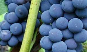 Виноград альфа- характеристики, секреты ухода, достоинства и недостатки сорта