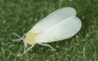 Белокрылка – как бороться с белокрылкой, как избавиться