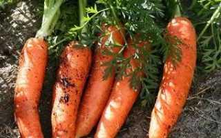 Выращивание моркови в открытом грунте: подготовка семян и почвы, уход за растениями, выбор сортов