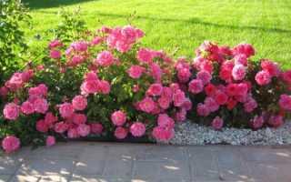 9 лучших сортов почвопокровных роз: уход и выращивание, подготовка к зиме