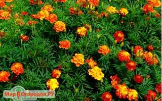 Применение бархатцев в народной медицине: лечебные свойства цветов чернобрывцев и рецепты