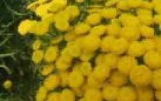 Растения-защитники сада и огорода, обладающие фитонцидными свойствами против вредителей