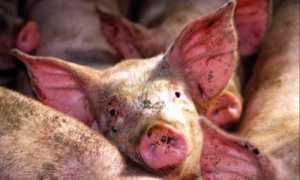 У свиньи красные пятна по всему телу: фото, чем лечить?