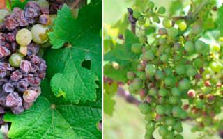 Болезни и вредители винограда: описание, фото, чем лечить, сорта