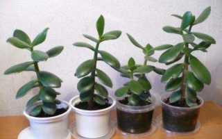 Как посадить отросток денежного дерева правильно: фото, размножение толстянки в домашних условиях черенками