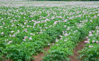 Болезни картофеля: описание, причины заболевания, методы лечения и фото
