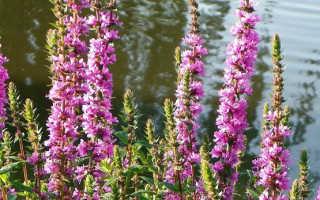 Дербенник иволистный: лечебные свойства и применение плакун-травы