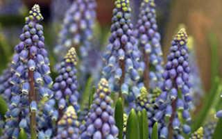 Цветы мускари или «гадючий лук»: фото и описание, посадка и уход, основные сорта растения