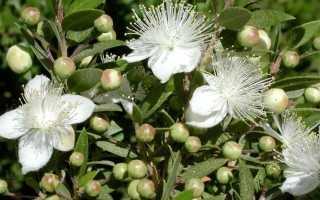 Цветок мирт: уход в домашних условиях, фото, пересадка, размножение, почему сохнет