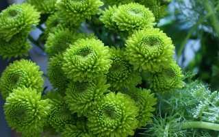 Чем подкормить хризантему, чтобы зацвела: виды удобрений