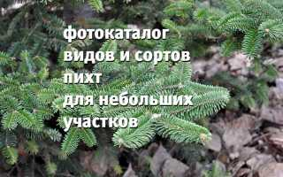 Основные виды и сорта пихты с описанием и фото