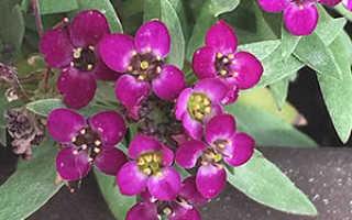 Цветок лобулярия: фото, сорта, выращивание из семян рассадой