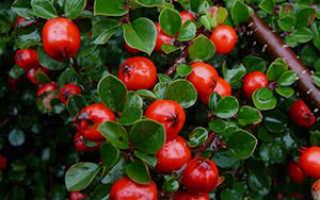 Кизильник (42 фото): черноплодный, блестящий, Даммера, горизонтальный, обыкновенный, посадка и уход, описание, размножение