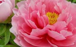 Когда сажать пионы – весной или осенью: советы цветоводов