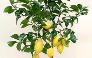 Как вырастить лимон из косточки в домашних условия, как правильно посадить семечко, видео