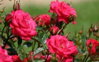 Розы: уход осенью, подготовка к зиме, правильная подкормка