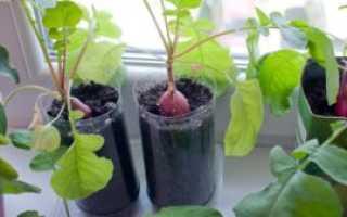Редис на подоконнике в квартире: выращивание, как посадить