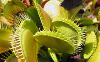 Венерина мухоловка (дионея): особенности этого хищного растения, уход за цветком в домашних условиях