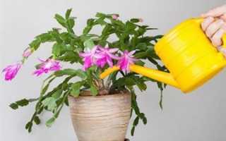 Цветок Декабрист: приметы, можно ли держать дома