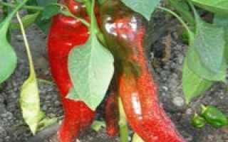 Перец какаду: отзывы, фото, описание и характеристика и урожайность сорта