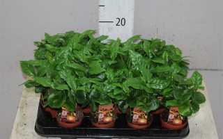 Комнатное растение Кофе Арабика – уход и выращивание в домашних условиях
