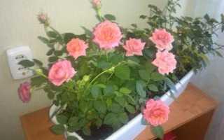 Как пересадить розу после покупки в магазине: какие материалы нужны и как подготовить цветок