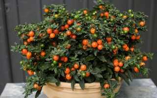 Соланум: как ухаживать за растением в домашних условиях