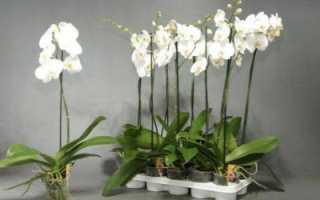 Фаленопсис белый: что это за цветок, история разведения сорта, правила ухода, а также фото растения