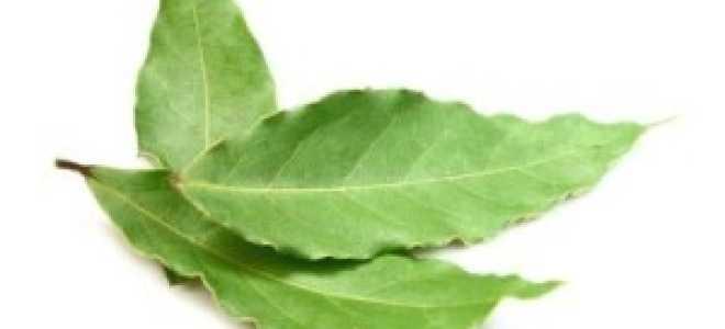 Настойка из лаврового листа на водке: польза или вред